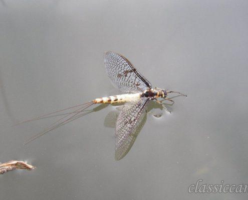 Pesca a mosca, Slovenia, Unec, Dry Fly, mosca di maggio