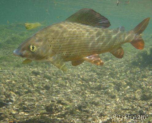 A grayling underwater